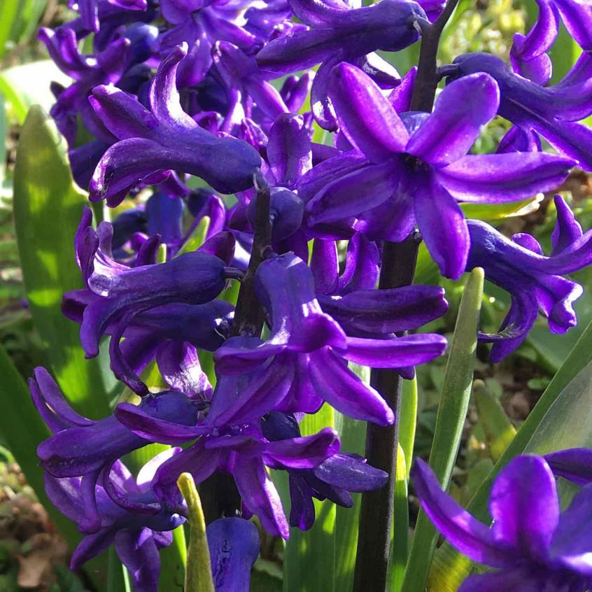 Hyacinthus 'Purple Sensation' flowers