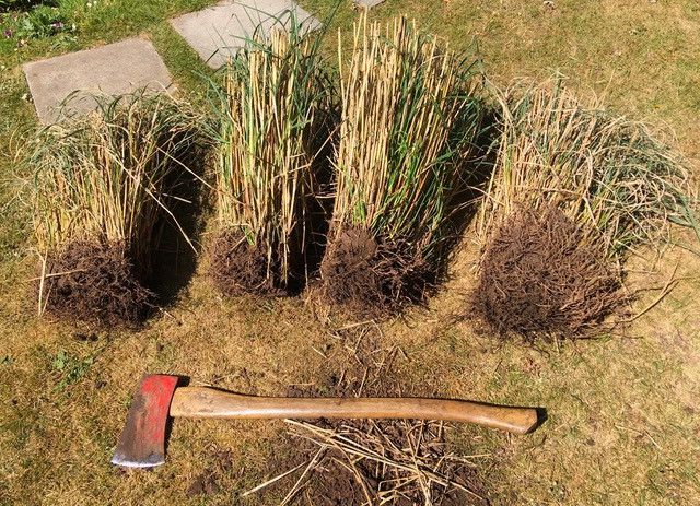Dividing Miscanthus sinensis with an axe!