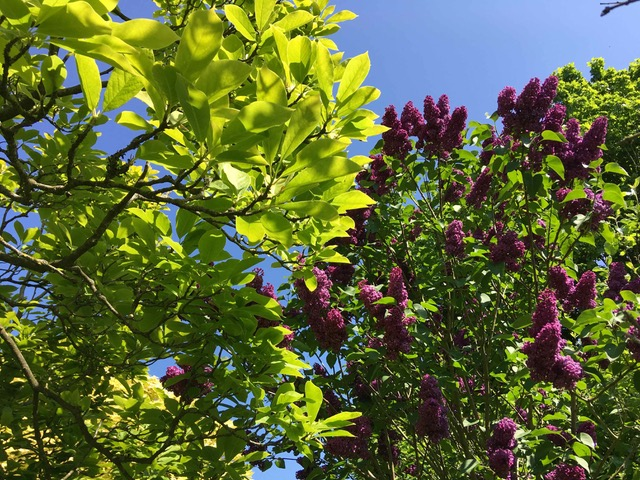 Magnolia & Lilac