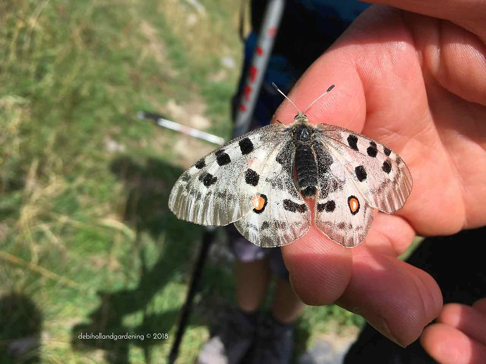 Parnassius apollo, Mountain apollo butterfly
