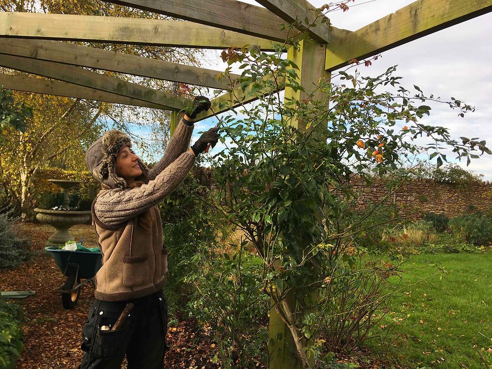 Prune climbing & rambling roses to keep framework intact, wind rock prune roses by a third
