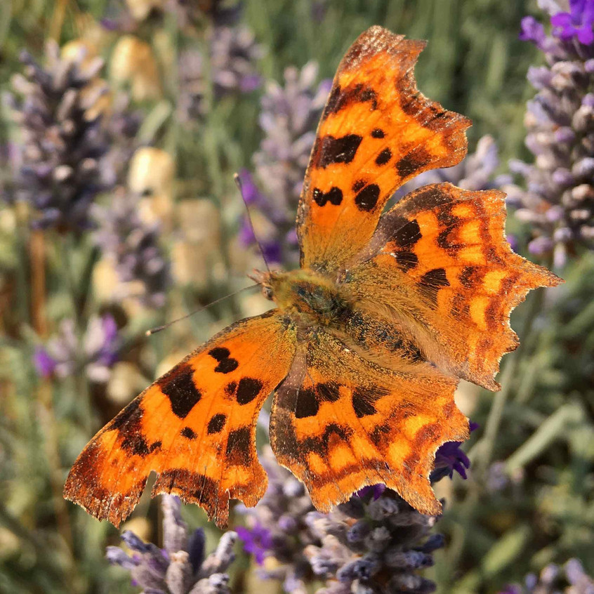 Comma buterfly on lavender