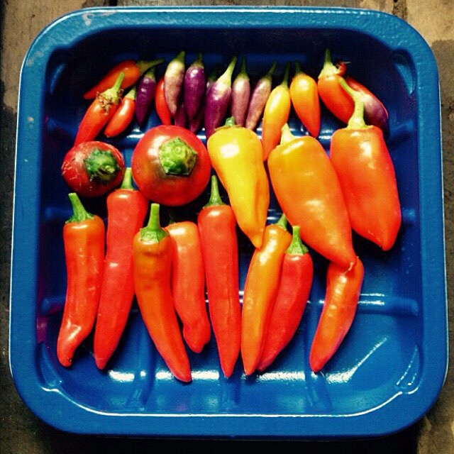 Harvesting chillies
