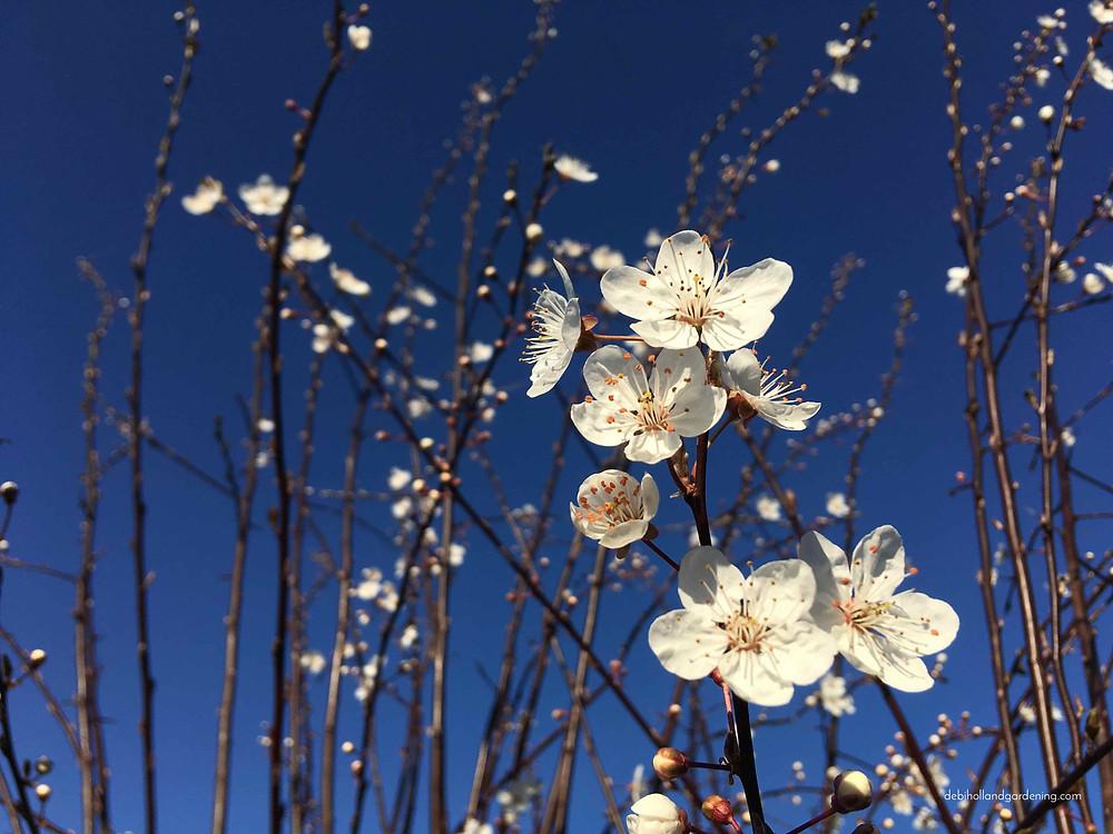 Prunus, Cherry Blossom