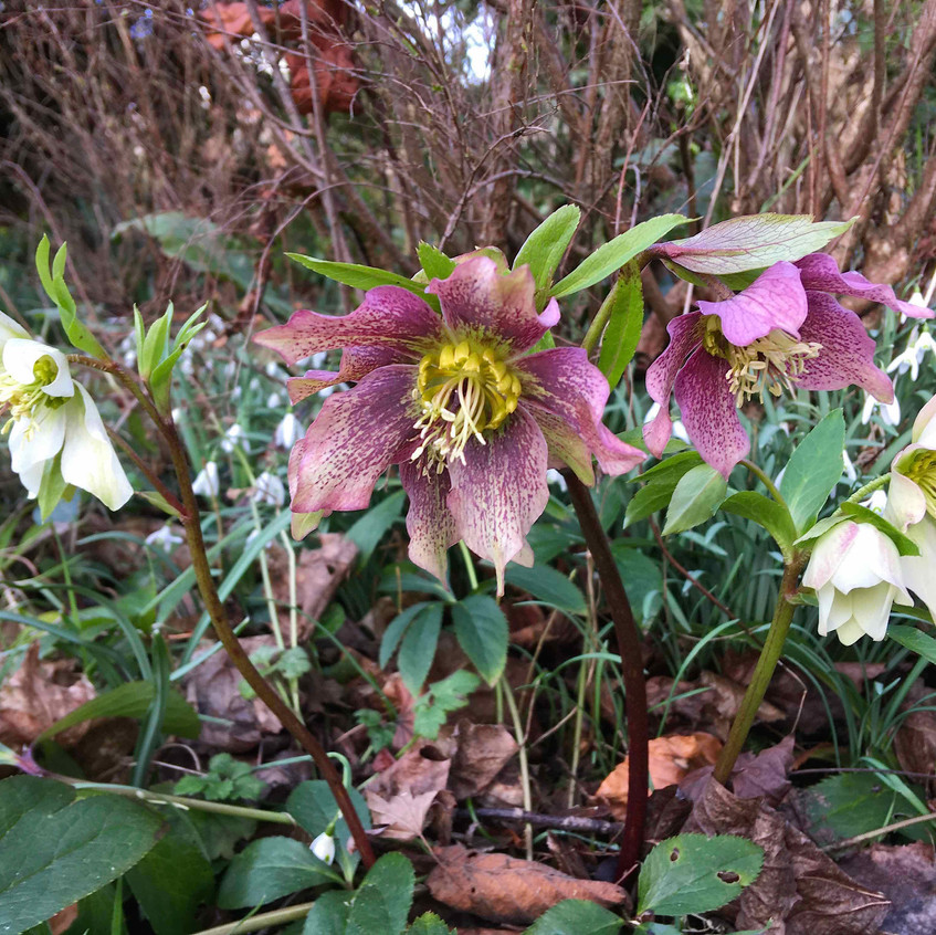 Hellebores suit a woodland-style border. Natural & shady