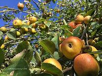 Abundant apple crop.jpg