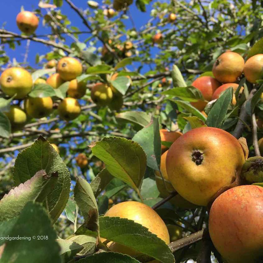 Abundant apple crop