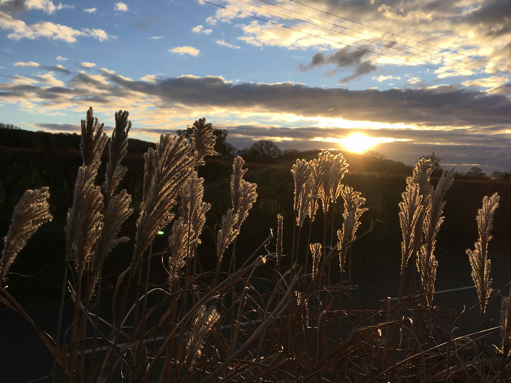 Miscanthus sinensis. Moving into winter
