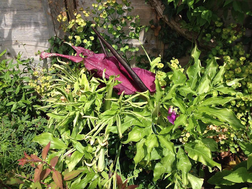Dracunculus vulgaris, Dragon Arum