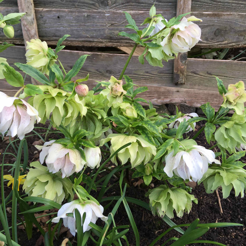 Hellebores bowing heads