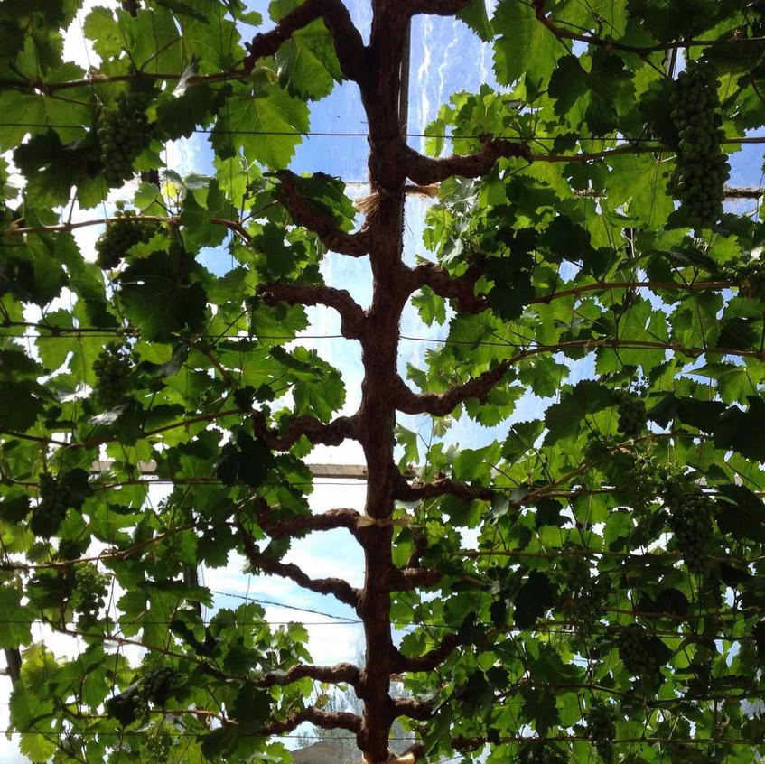 Glasshouse vine. Photo: DH