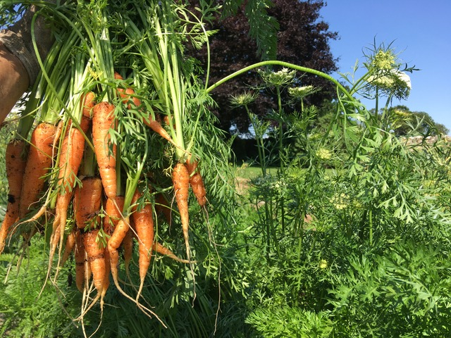 Carrots freshly picked
