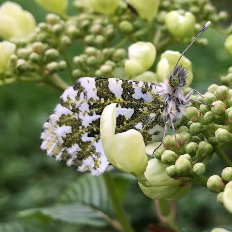 Anthocharis cardamines, female orange-tip butterfly
