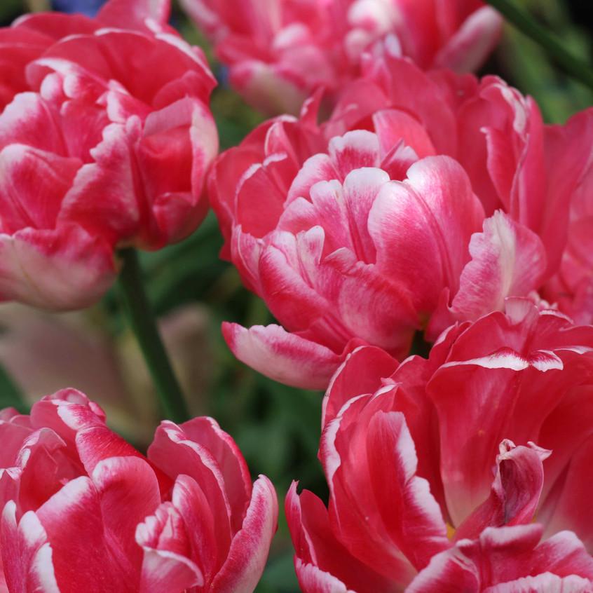Tulipa 'Foxtrot' darkens with age