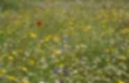 Wildflower meadow.jpeg