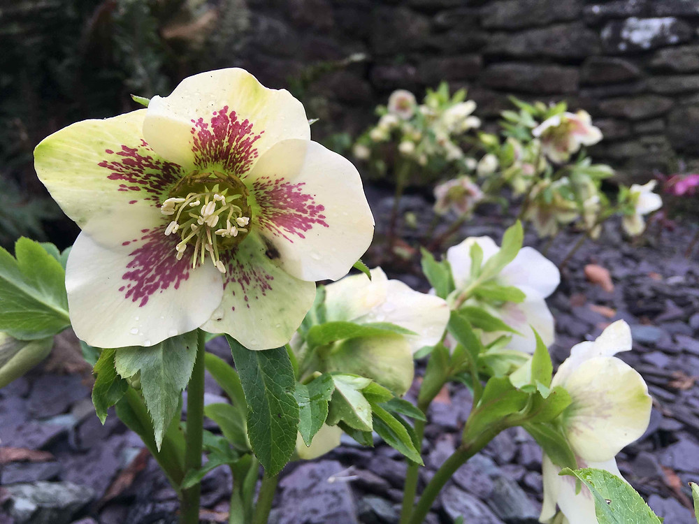 Helleborus surrounded by a carpet of slate