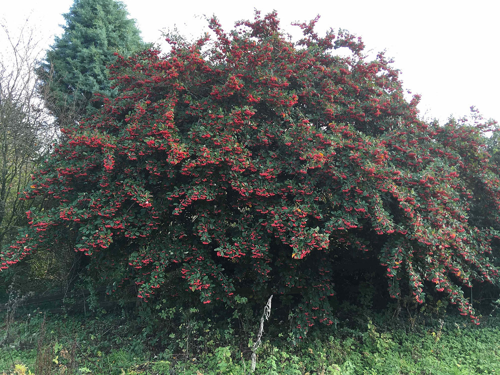 Cotoneaster lacteus ladened with berries