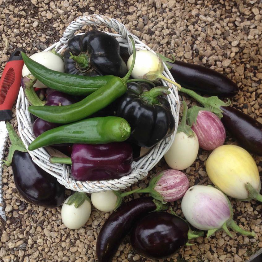 Harvesting chillies & egg plants