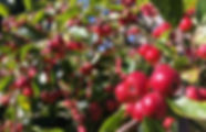 Crab apples.jpg