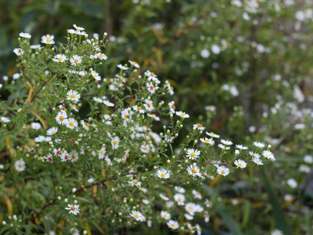 Fagus Times Asters