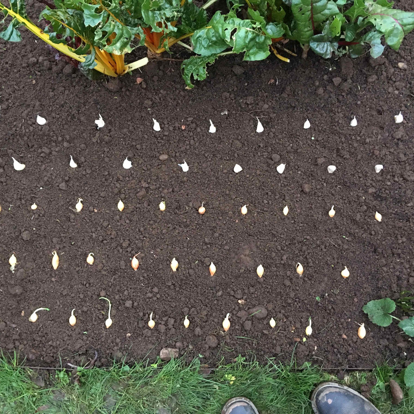 Planting out sets of onions & garlic