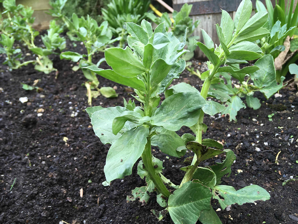 Broad beans growing strong