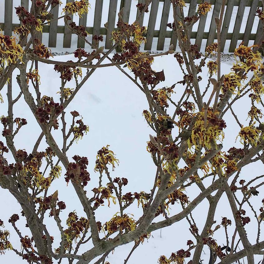Hamamelis mollis in the snow