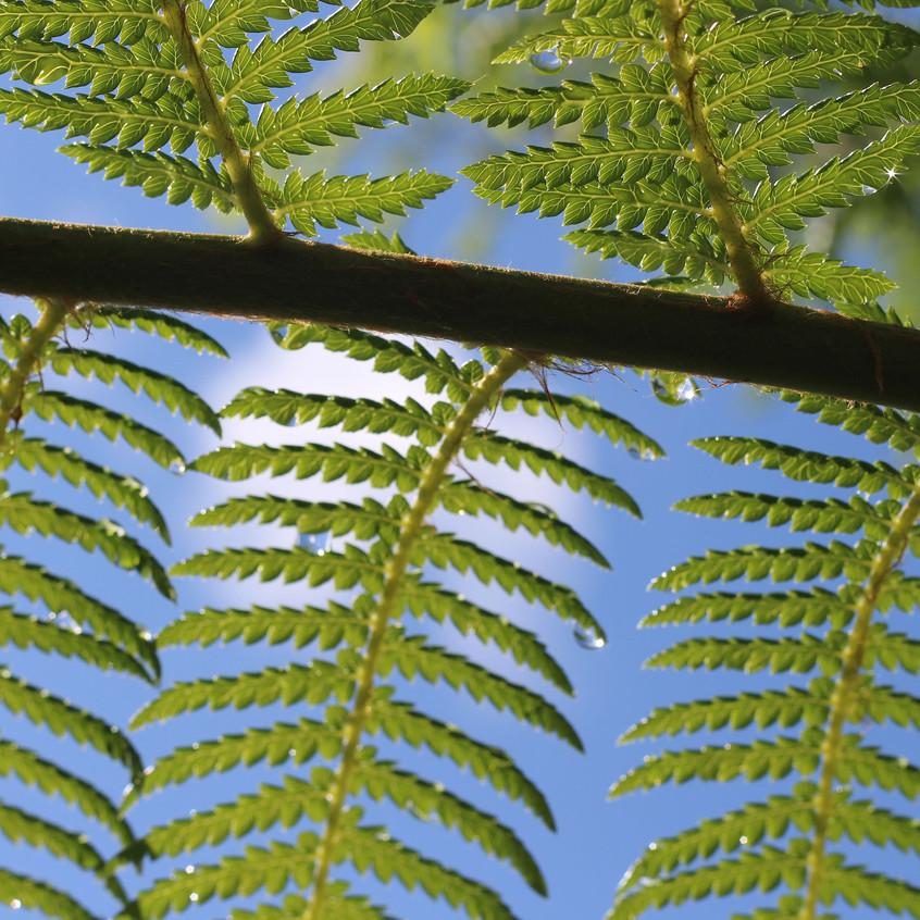 Tree Fern frond detail