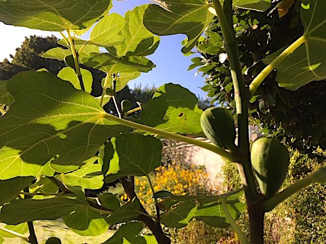 Fig foliage
