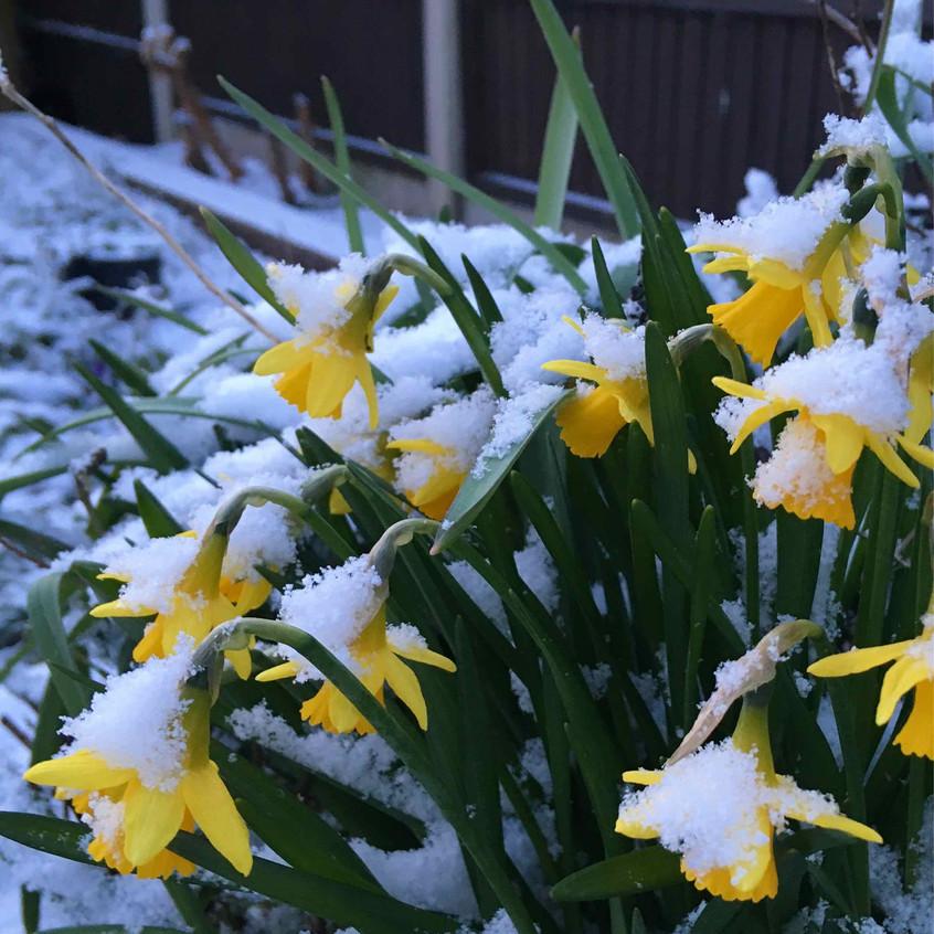 Snowy Narcissus Tete-a-Tete