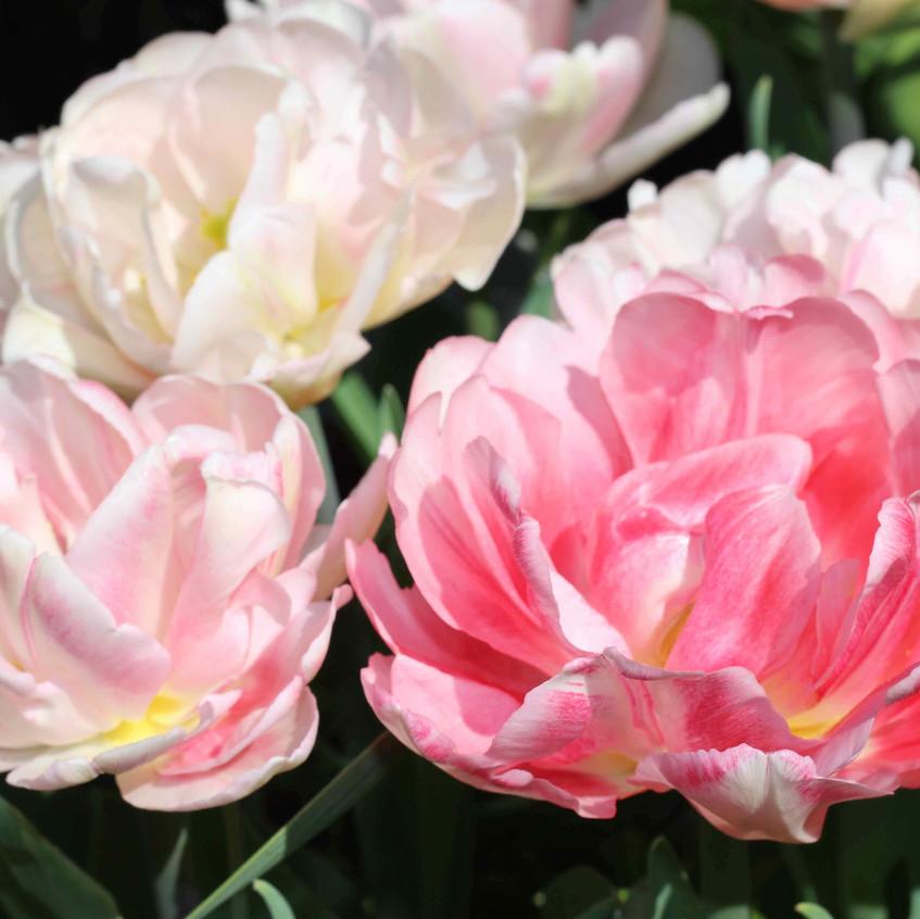 Tulip 'Foxtrot' early pale flowers