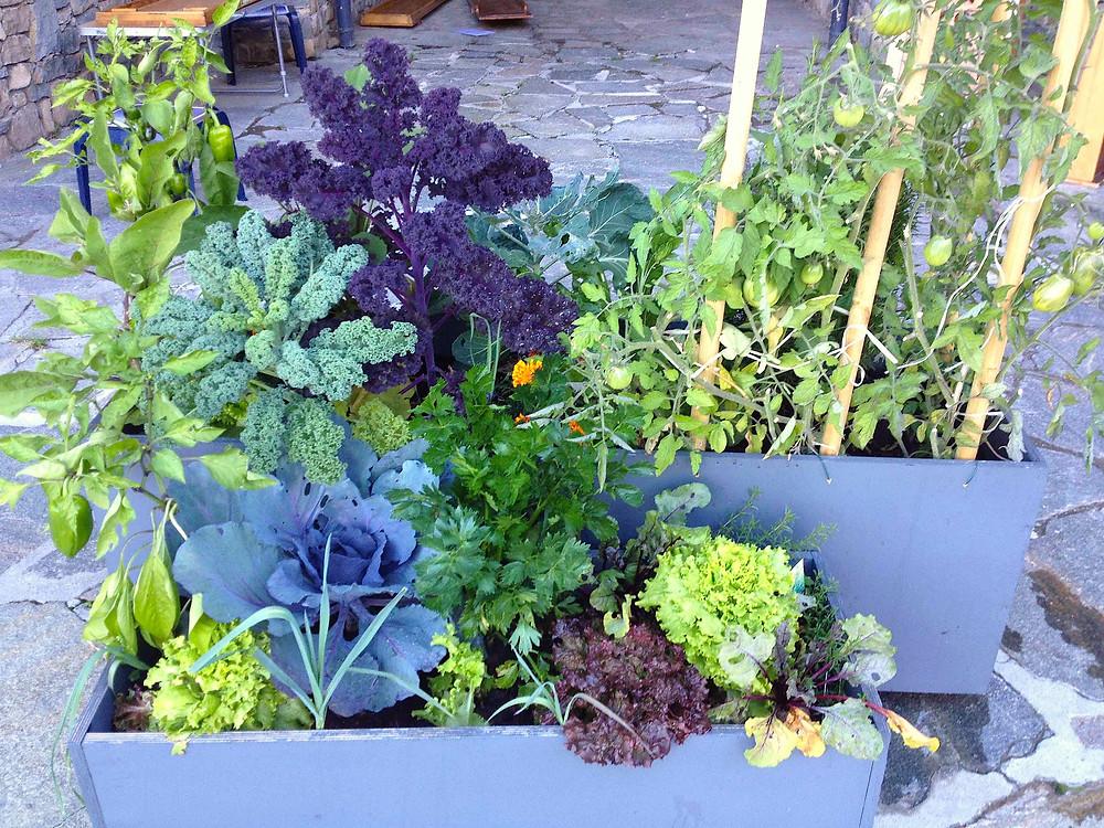 Purple & green kale sit alongside salad & marigolds