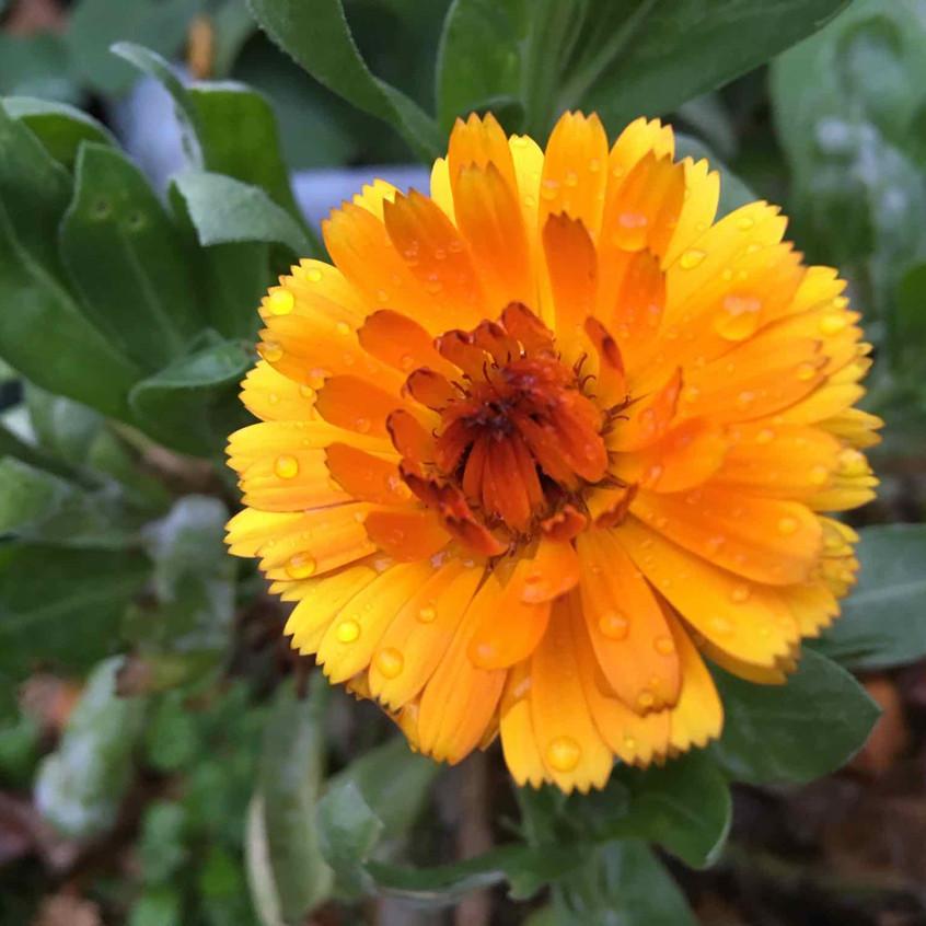 Zinnia - late bloom