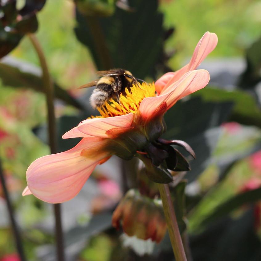 Bee lunch on dahlia