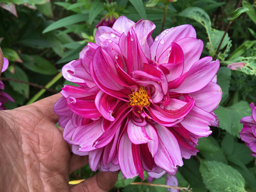 Exquisite beauty of dahlias. Deadhead old cone shaped heads.