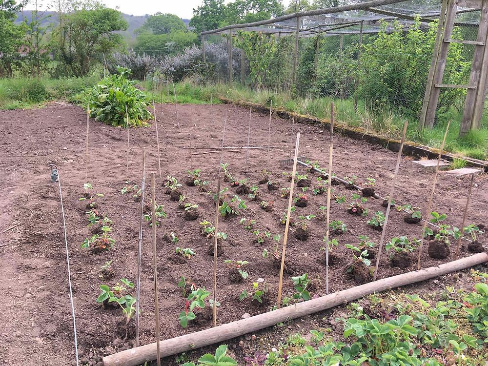 Transplanting strawberry runners