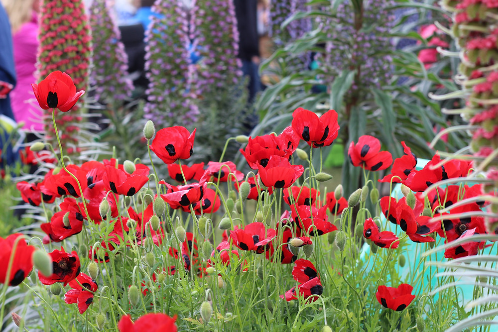 Papaver commutatum 'Ladybird' at RHS Malvern