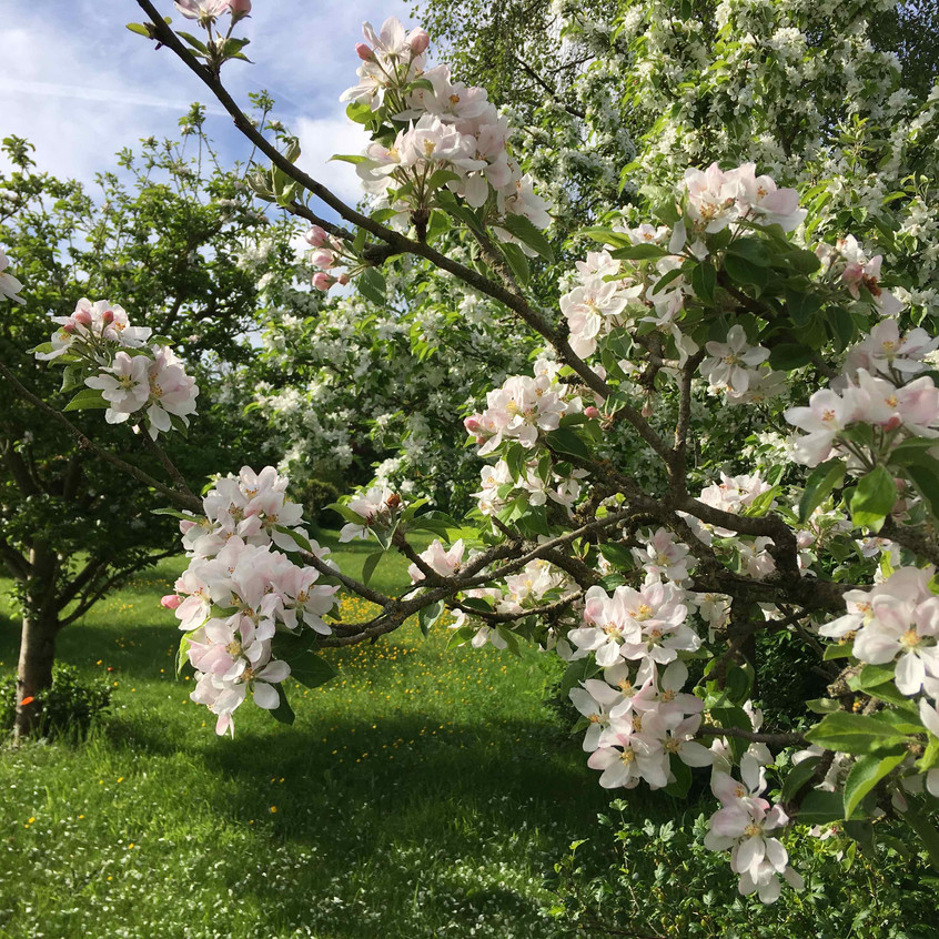 Orchard blossoming