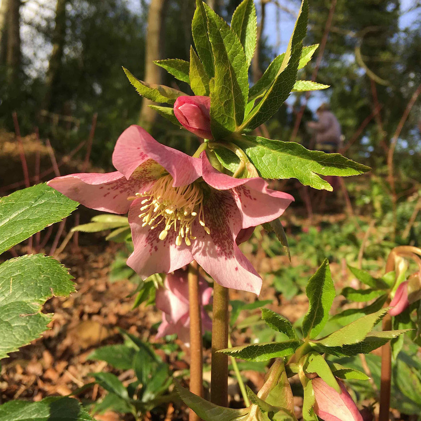 Helleborus at Painswick Gardens