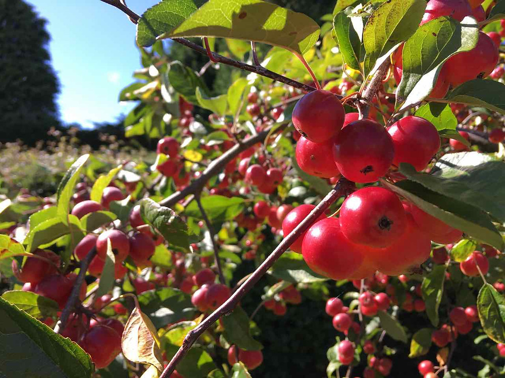 Crab apple trees provide food for birds and insects
