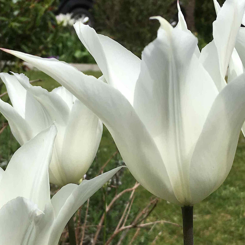 Tulip White Elegance Farmer Gracy