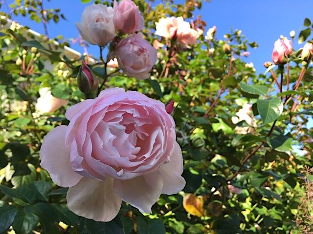 'The Generous Gardener' rose