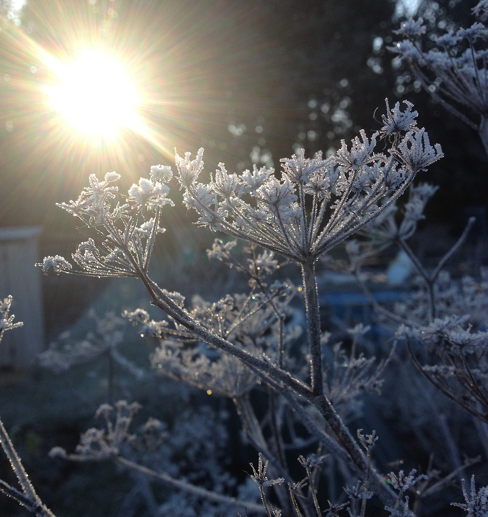 Fennel seed heads in the frost