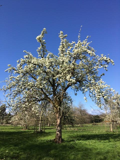 Fabulous huge old pear tree