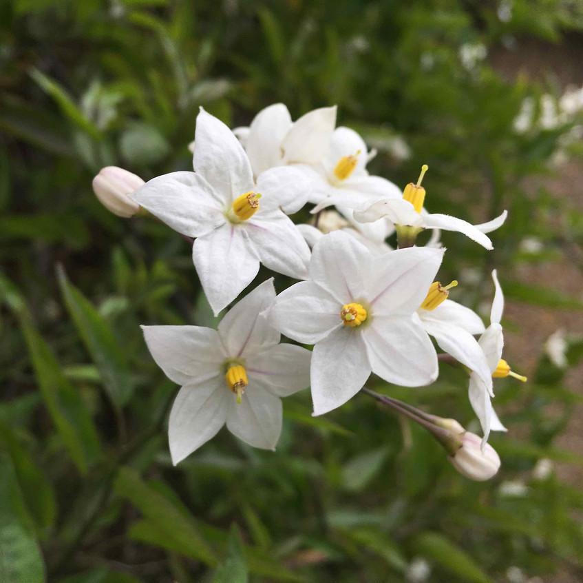 Solanum laxum 'Album' potato vine
