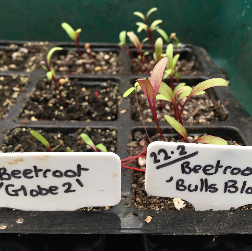 Beetroot seedlings