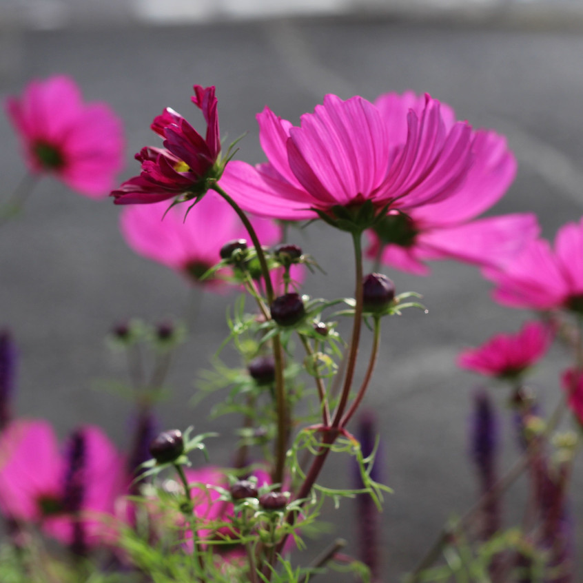 Cosmos in the morning light
