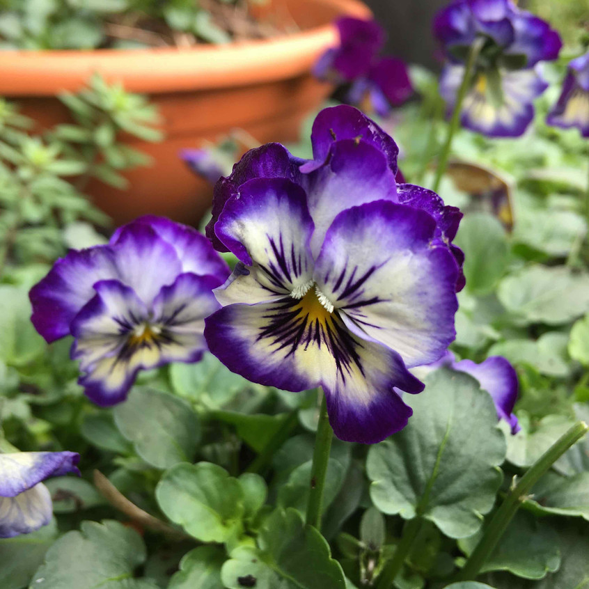 Violas for colourful winter pots