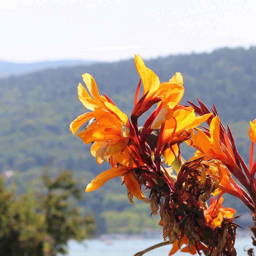 Canna Tropicana & mountains
