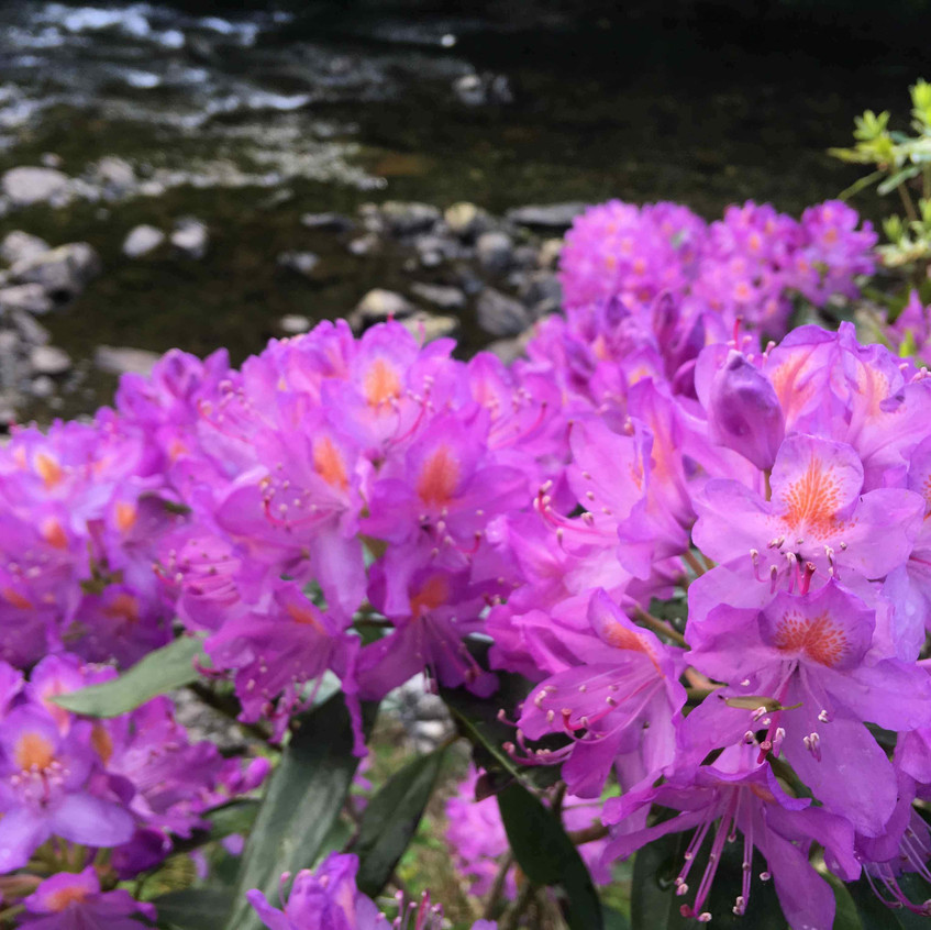 Rhododendrons by the river